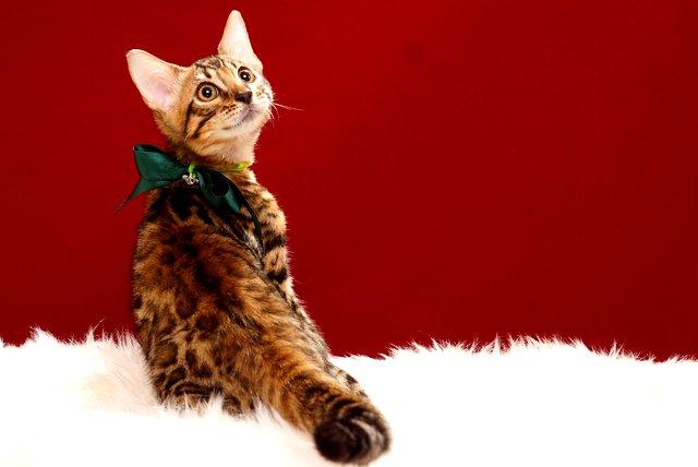 ベンガル子猫339 グリーン