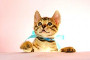 ベンガル子猫 26番アクアくん1