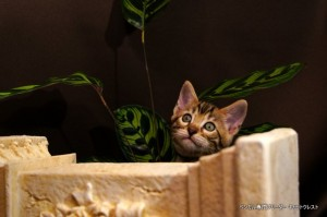 ベンガル子猫69番むらさき6
