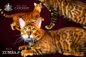 ベンガル猫ズンバ2