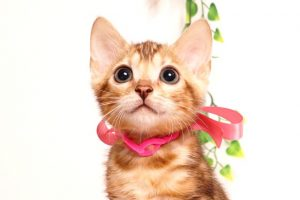 ベンガルの子猫2019/7/6生 743番ピンク メス7