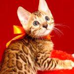 ベンガルの子猫 2019/7/20生 757番オレンジ オス6