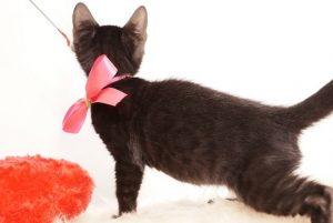 ベンガルの子猫 2019/7/4生 750番ピンク オス6