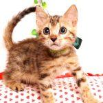 ベンガルの子猫2019/7/6生 746番グリーン オス3