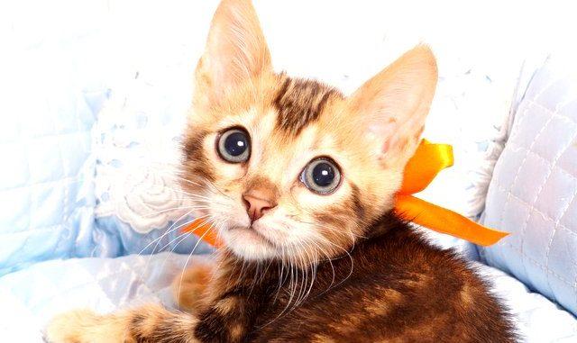 ベンガルの子猫2019/7/6生 745番オレンジ オス1