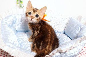 ベンガルの子猫2019/7/6生 745番オレンジ オス2