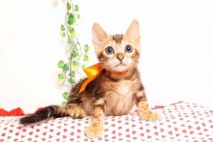 ベンガルの子猫2019/7/6生 745番オレンジ オス5