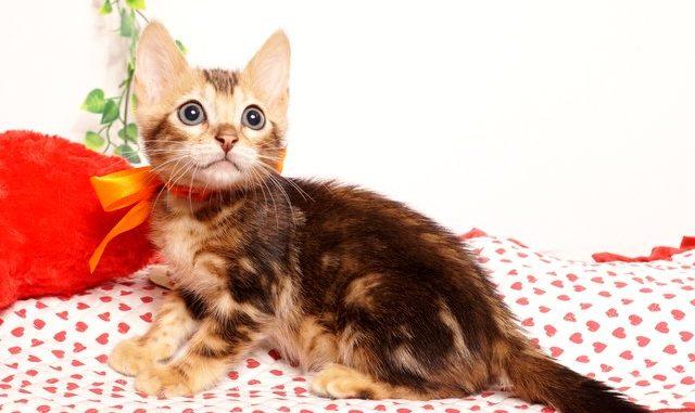 ベンガルの子猫2019/7/6生 745番オレンジ オス6