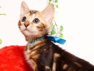 ベンガルの子猫2019/7/6生 744番ブルー オス3