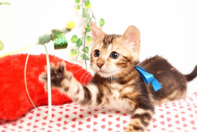ベンガルの子猫2019/7/6生 744番ブルー オス4