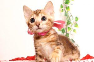 ベンガルの子猫2019/7/6生 743番ピンク メス1