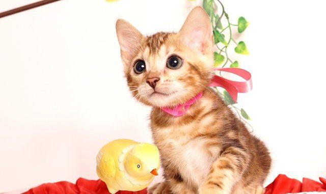 ベンガルの子猫2019/7/6生 743番ピンク メス3
