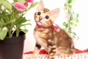 ベンガルの子猫2019/7/6生 743番ピンク メス4
