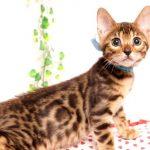 ベンガルの子猫2019/7/4生 751番アクア オス1