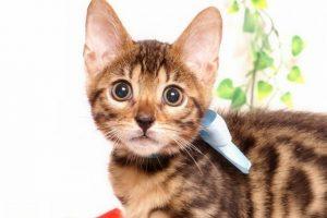 ベンガルの子猫2019/7/4生 751番アクア オス2