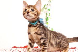 ベンガルの子猫2019/7/4生 751番アクア オス3