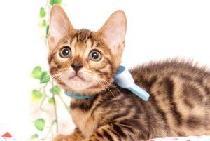 ベンガルの子猫2019/7/4生 751番アクア オス4