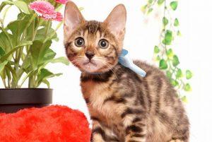 ベンガルの子猫2019/7/4生 751番アクア オス5