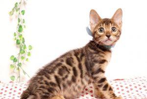 ベンガルの子猫2019/7/4生 751番アクア オス6