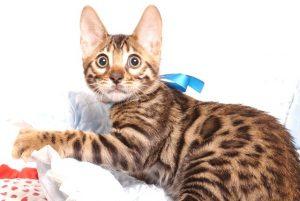 ベンガルの子猫 2019/6/24生 737番ブルー オス21