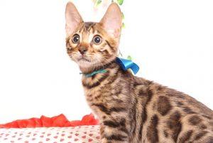 ベンガルの子猫 2019/6/24生 737番ブルー オス24
