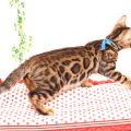 ベンガルの子猫 2019/6/24生 737番ブルー オス25