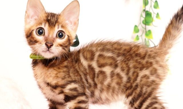 ベンガルの子猫 2019/6/29生 739番グリーン オス21