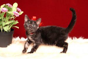 ベンガルの子猫 2019/7/12生 753番レッド メス1