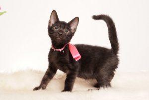 ベンガルの子猫 2019/7/4生 750番ピンク オス1