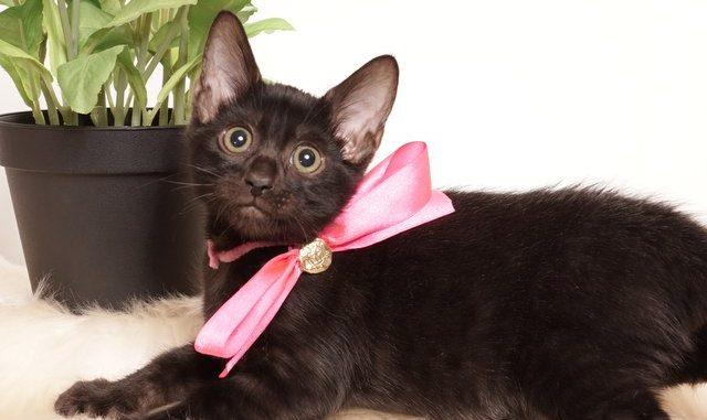 ベンガルの子猫 2019/7/4生 750番ピンク メス3