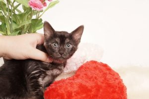 ベンガルの子猫 2019/7/12生 753番レッド メス4