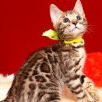 ベンガルの子猫 2019/7/12生 755番イエロー オス3