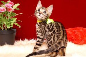ベンガルの子猫 2019/7/12生 755番イエロー オス5