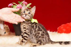 ベンガルの子猫 2019/7/12生 755番イエロー オス6