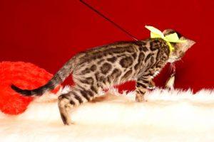 ベンガルの子猫 2019/7/12生 755番イエロー オス2