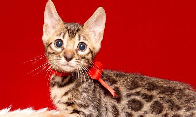 ベンガルの子猫 2019/7/20生 758番レッド オス1
