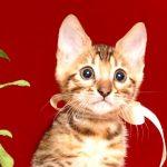 ベンガルの子猫 2019/7/20生 756番ホワイト オス2
