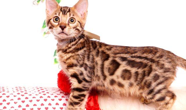 ベンガルの子猫 2019/7/29生 768番ホワイト オス2