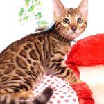ベンガルの子猫 2019/8/3生 762番アクア オス2