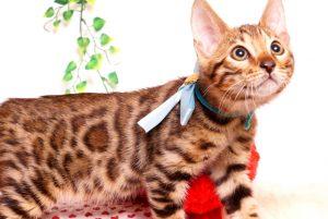 ベンガルの子猫 2019/8/3生 762番アクア オス3