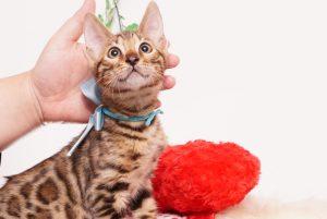 ベンガルの子猫 2019/8/3生 762番アクア オス4