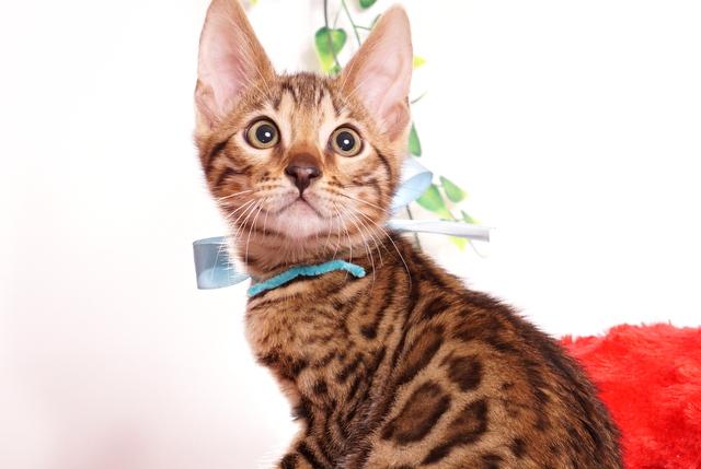 ベンガルの子猫 2019/8/3生 762番アクア オス6