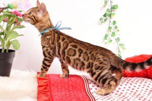ベンガルの子猫 2019/8/3生 762番アクア オス7