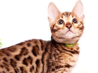 ベンガルの子猫 2019/8/3生 761番グリーン オス1