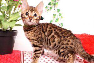 ベンガルの子猫 2019/8/3生 761番グリーン オス2
