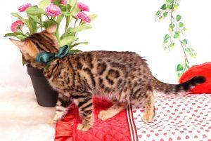 ベンガルの子猫 2019/8/3生 761番グリーン オス6