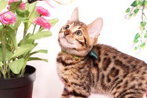 ベンガルの子猫 2019/8/3生 761番グリーン オス7