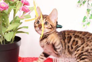 ベンガルの子猫 2019/8/3生 761番グリーン オス8