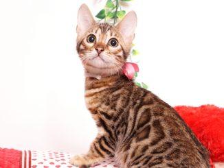 ベンガルの子猫 2019/8/3生 760番ピンク メス1