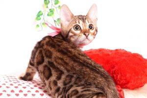 ベンガルの子猫 2019/8/3生 760番ピンク メス2